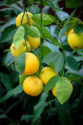 yellow_grapefruit